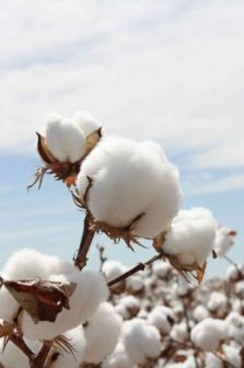 http---cottonaustralia.com.au-uploads-images-gallery-Cotton_Bolls_4